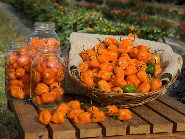 Peperoncini Habanero Orange
