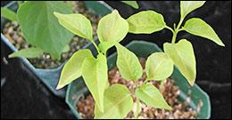 Carenze piante