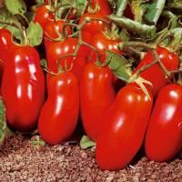Semi biologici di Pomodoro San Marzano