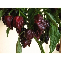 Semi di peperoncino 7 Pot Brown