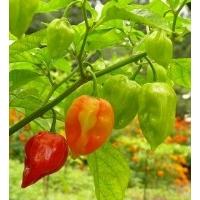 Semi di peperoncino Antillais Carribbean Habanero