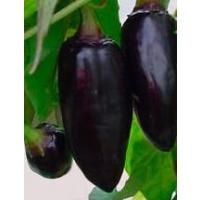 Semi di peperoncino Ecuadorian Brown