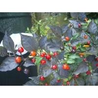 Semi di peperoncino Mata Frade