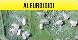 Aleuroidi, mosca bianca, mosche bianche
