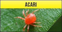 Acaro, Acari, ragnetto rosso