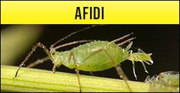 Afidi, Aphis spp, pidocchi