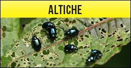 Altiche, Phyllotreta spp, coleotteri