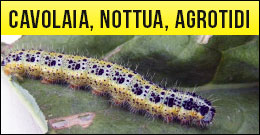 Cavolaia, nottua, agrotidi, lepidotteri