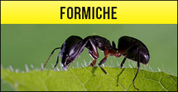 Formica, formiche
