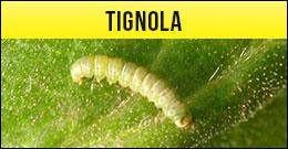 Tignola, tignoletta, Tortricidi