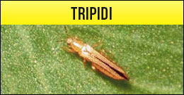 Tripidim tripide, frankliniella occidentalis, thrips tabaci