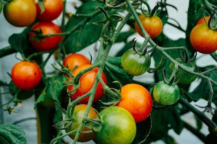 Come Coltivare i Pomodori: Manuale Completo - Idroponica.it