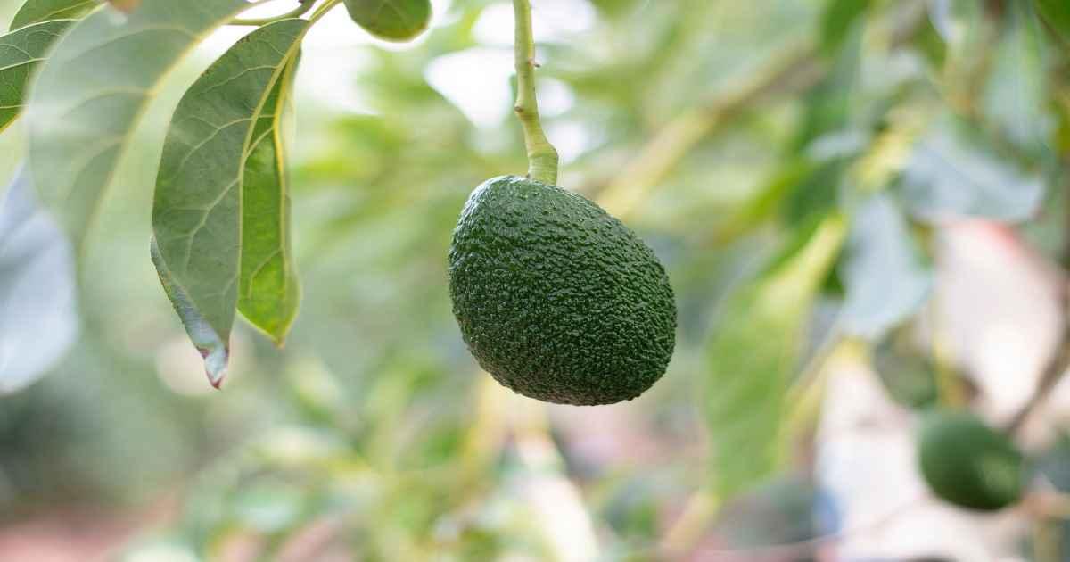Come Coltivare l'Avocado in Casa: Guida Pratica - Idroponica.it