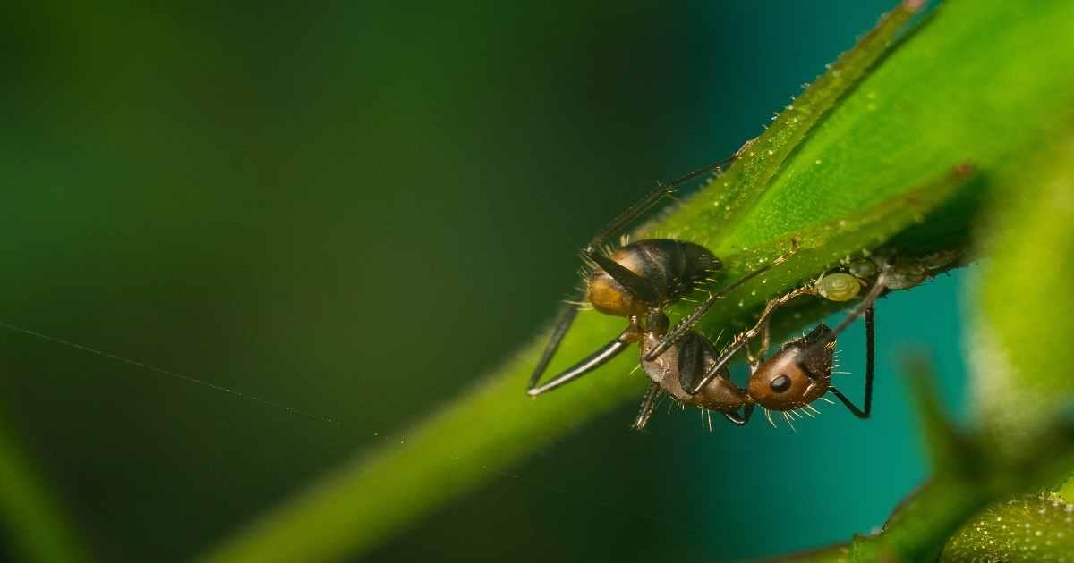 Le formiche allevano gli afidi: ecco come