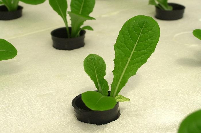 Il futuro dell'agricoltura? Giovane e idroponica