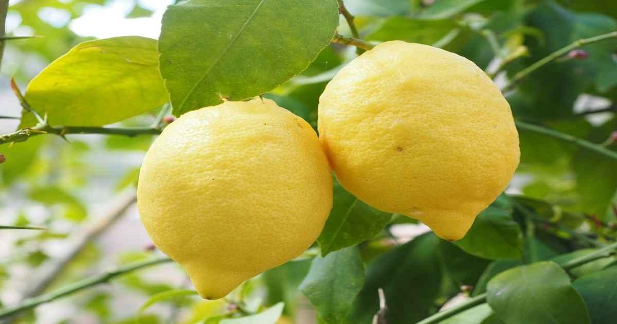 Coltivare i Limoni a Terra e in Vaso: Guida Pratica