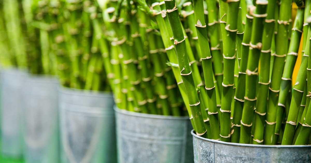 Come Coltivare il Bambù: Guida Completa | Idroponica.it