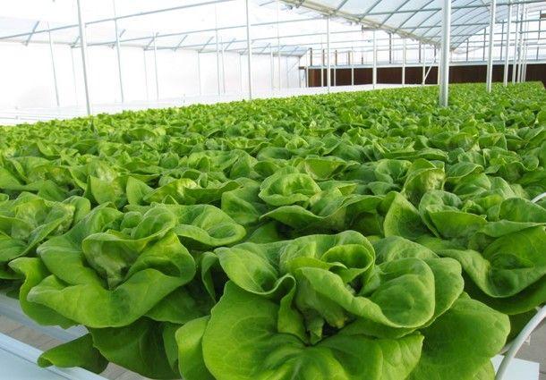 Coltivazione Idroponica in serra indoor