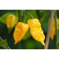 Semi di peperoncino Habanero Hot Lemon