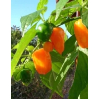 Semi di peperoncino Habanero Mexican Orange