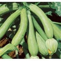 Semi biologici di Zucchino Genovese