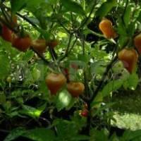 Semi di peperoncino Schwarze Perle