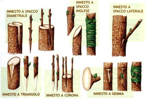 Tipologie di innesti nelle piante