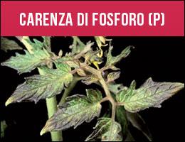 Carenza Fosforo, carenze piante