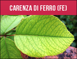 Carenza Ferro, carenze piante