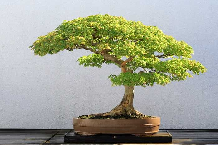 potare un bonsai