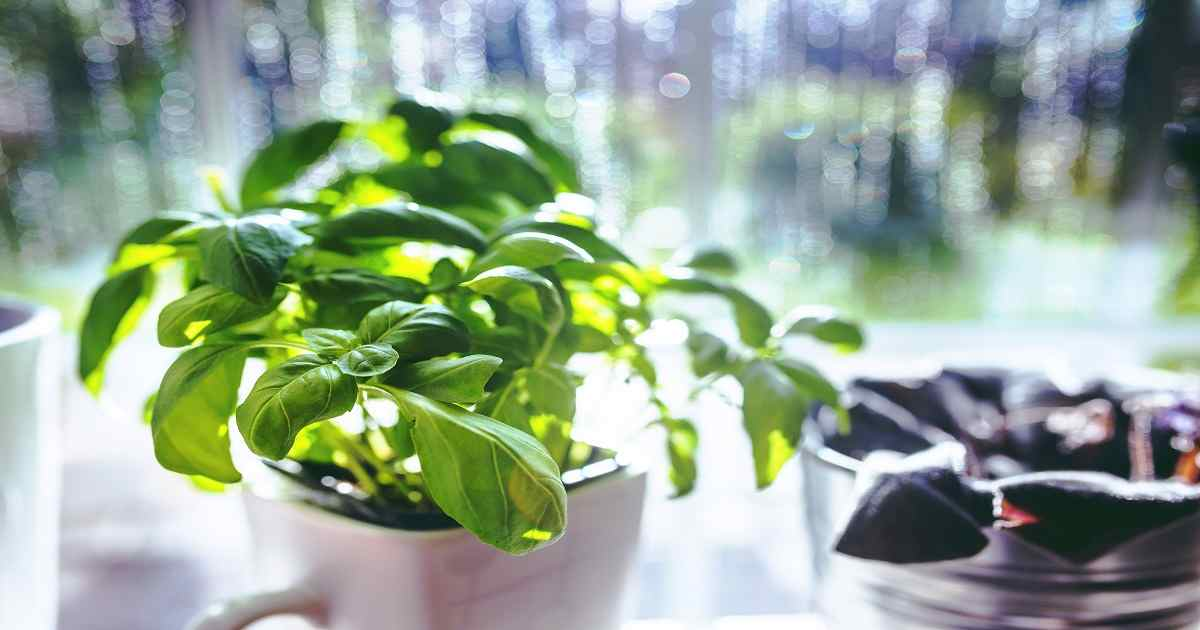 come coltivare il basilico indoor
