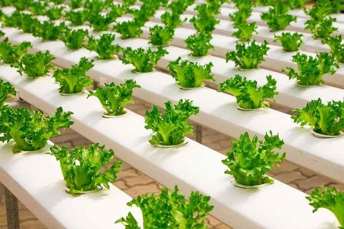 come coltivare insalata idroponica