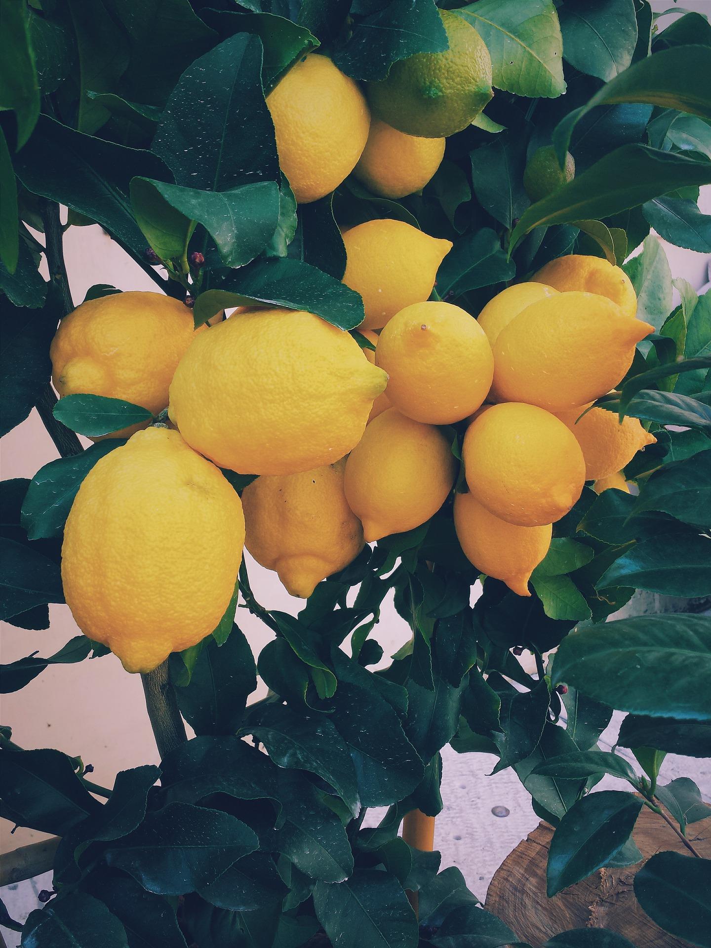 coltivare i limoni con tutte le principali tecniche