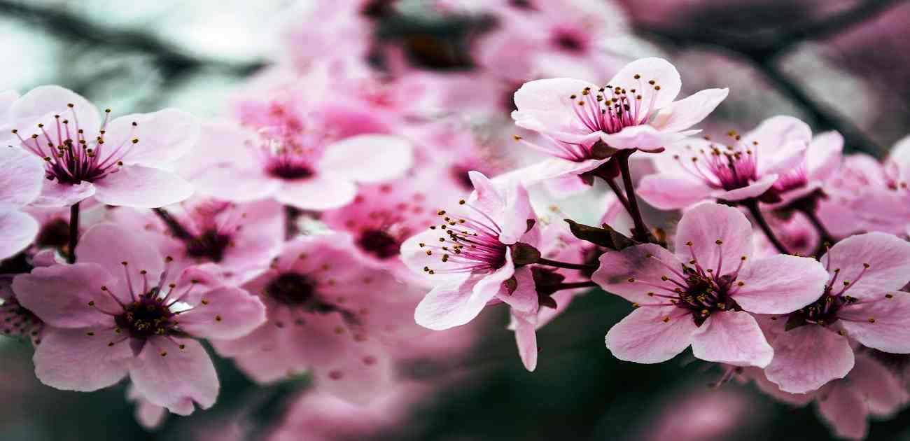 come potare l'albero di ciliegio