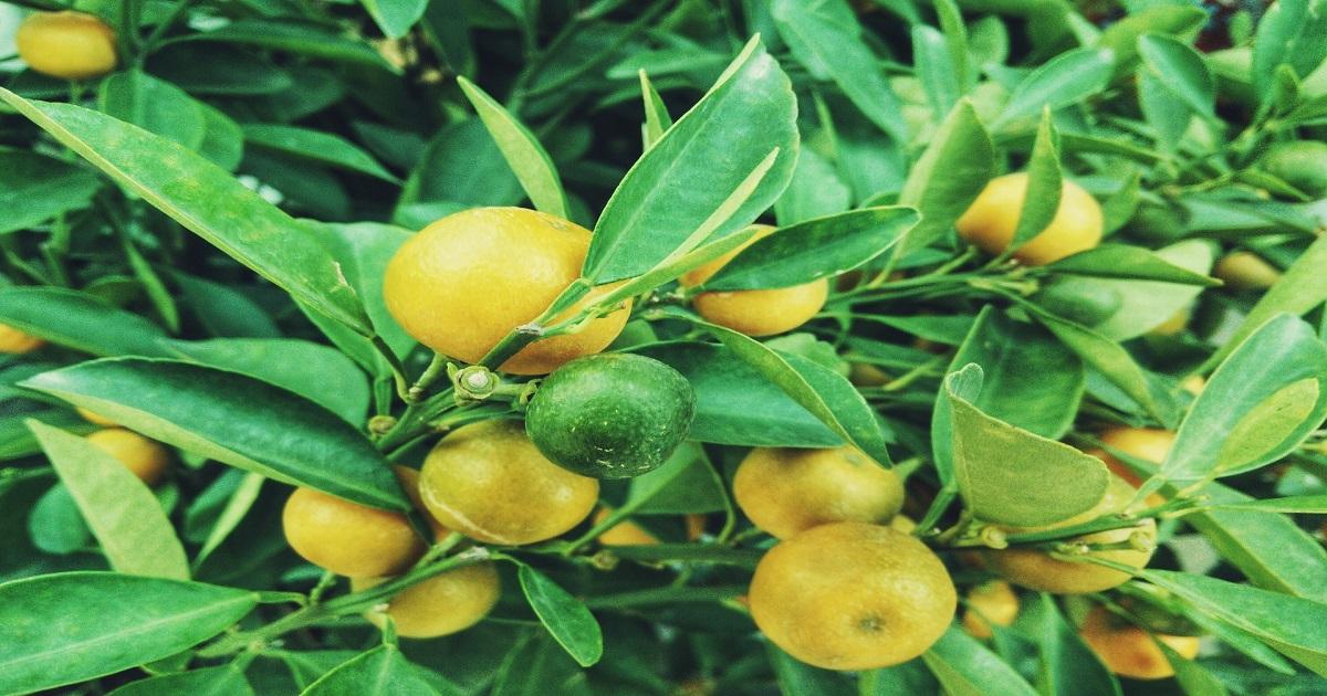 come coltivare i limoni