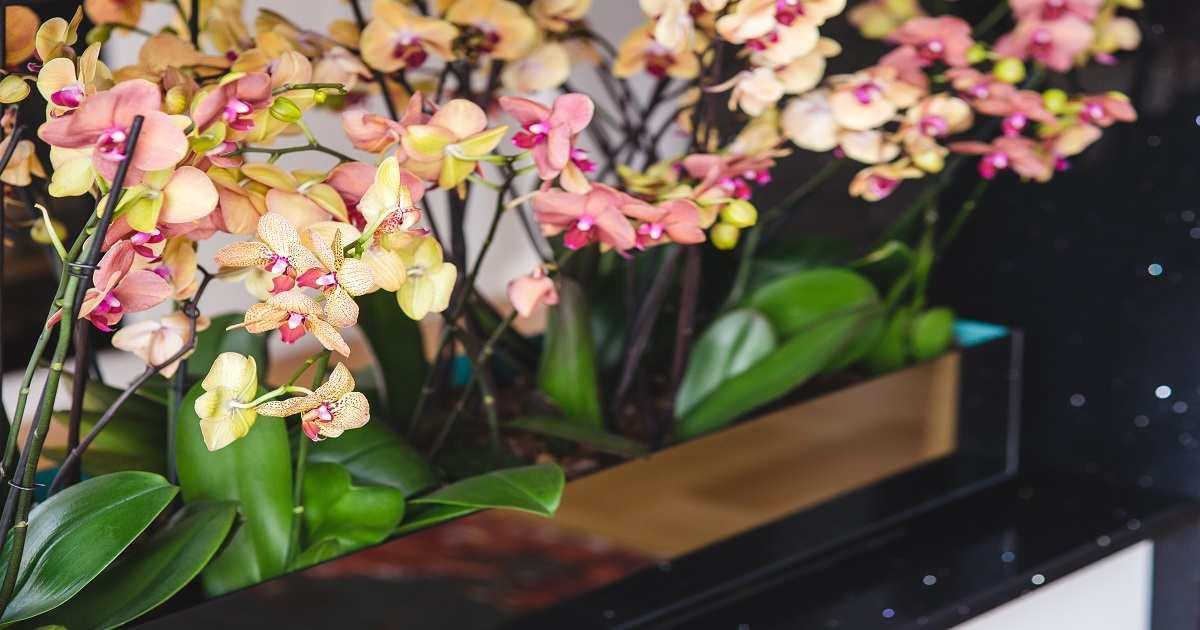 E Coltivare Le Orchidee In Casa Cura Irrigazione E