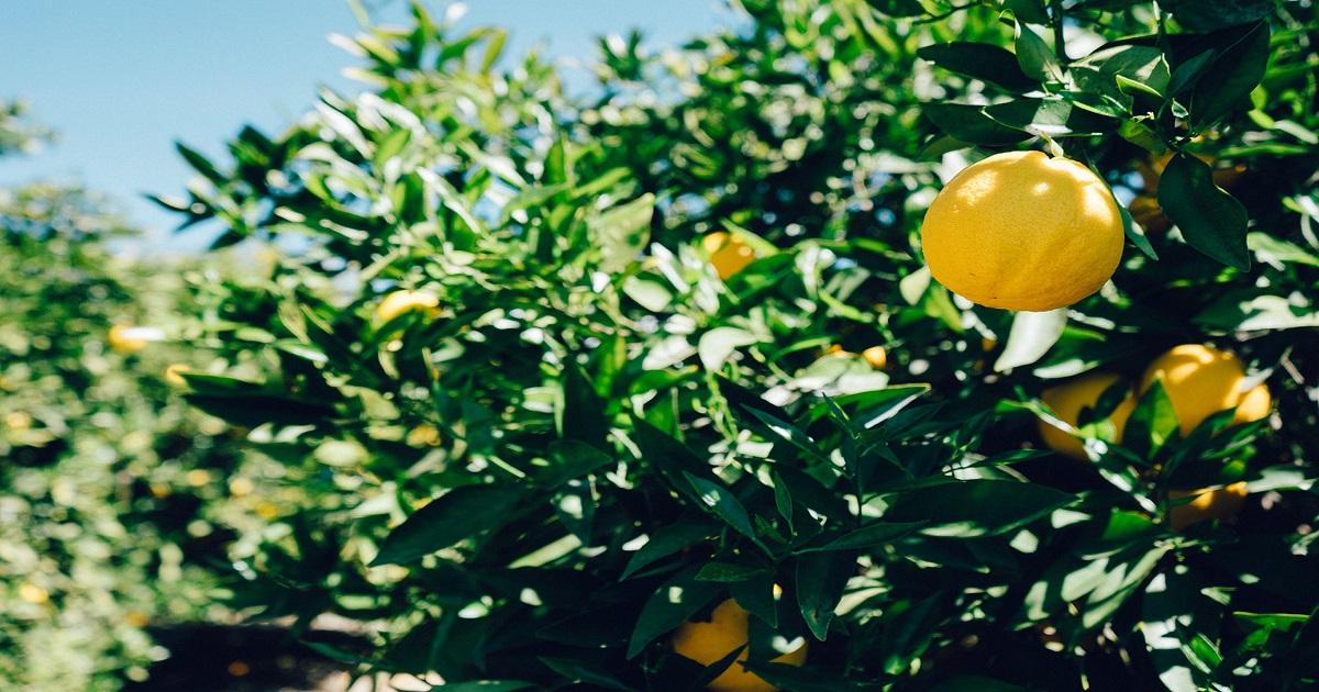 breve guida per coltivare i limoni in vaso