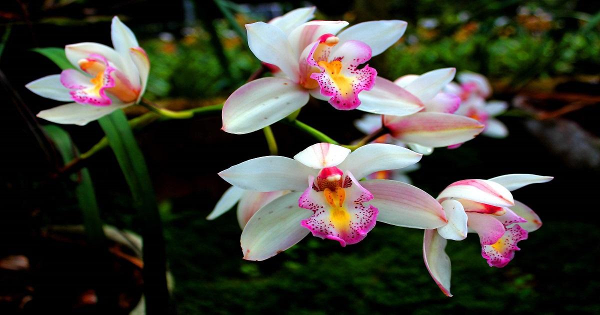 Come coltivare le orchidee in casa cura irrigazione e concimazione