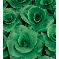 Semi biologici di Cicoria Grumolo Verde Scuro