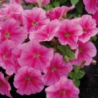 Semi di PETUNIA Nana semplice rosa  - h cm 30