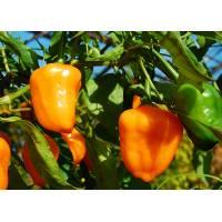 Peperoncini piccanti Aji Ecuadorian Orange