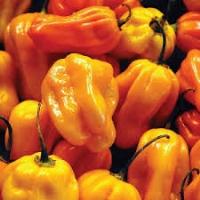 Semi di peperoncino Habanero Golden