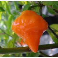 Semi di peperoncino Orange Lantern