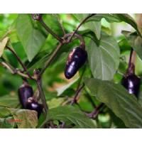 Semi di peperoncino Purple Serrano